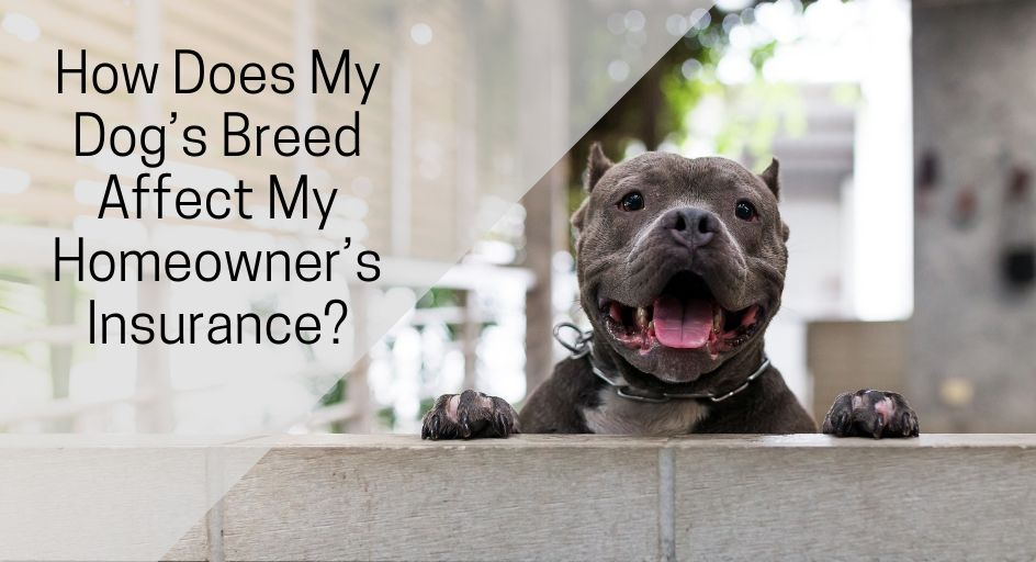 blog image of a pit bull dog at its home; blog title: How Does My Dog's Breed Affect My Homeowner's Insurance